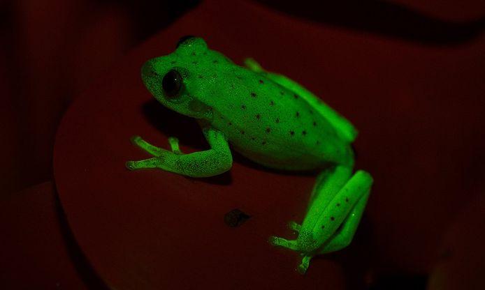 De fluorescerende kikker.