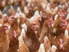 Tientallen kippenboerderijen op slot wegens gif in eieren