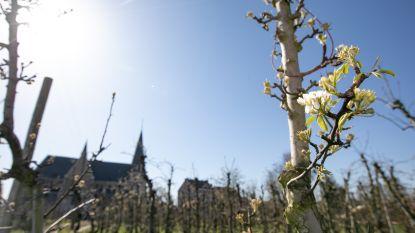 """Sint-Truiden beleeft vreemdste bloesemseizoen ooit: """"Bloesemtoerisme is NIET toegestaan!"""""""