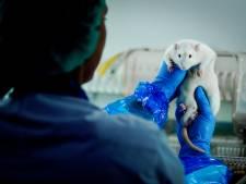 Fors meer proeven met ratten en konijnen bij Charles River in Den Bosch