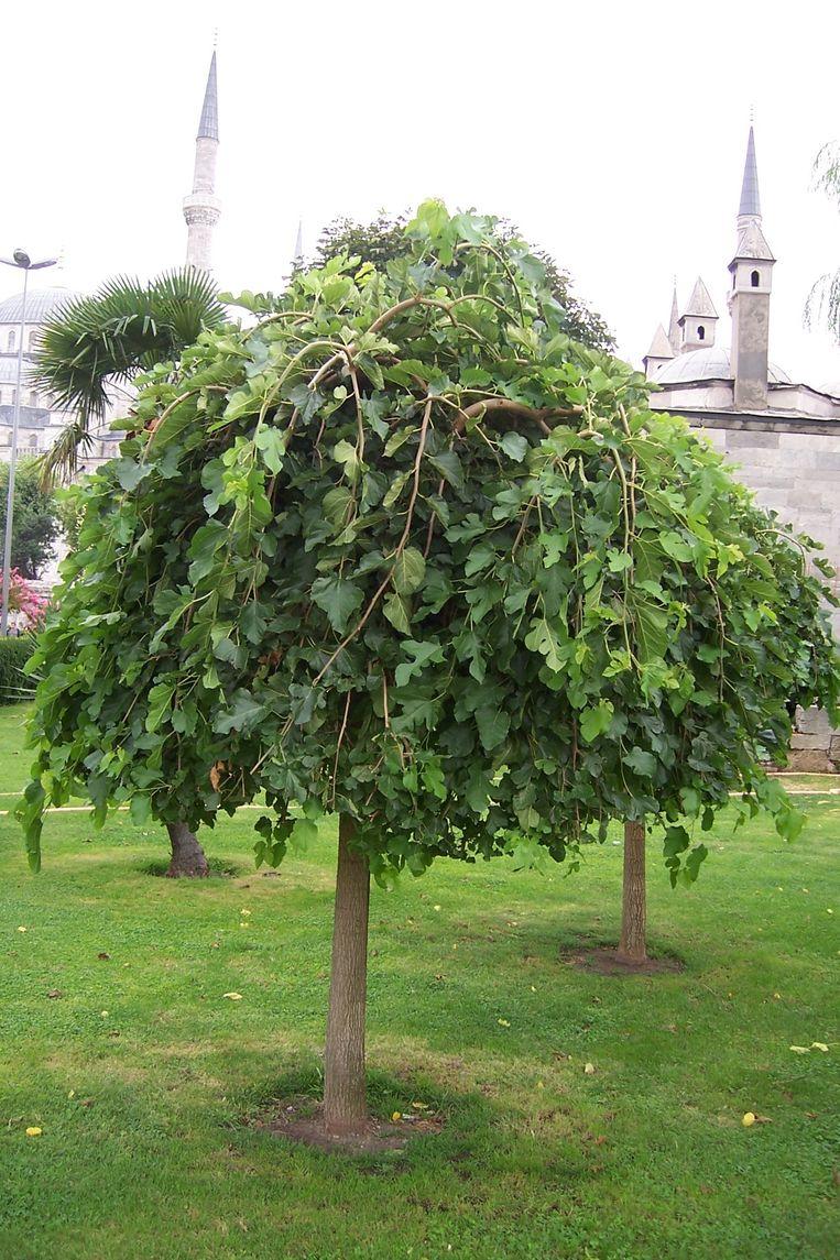 De moerbei gedijt goed op droge grond. De boom komt van nature voor in subtropische gebieden, vooral in Azië. De vruchten zijn eetbaar en worden onder meer gebruikt om jam te maken. Beeld .