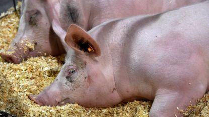 10-tal varkens in beslag genomen