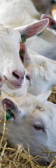 Gelderland geeft geen strobreed toe aan geitenboeren
