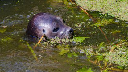 """Amsterdam in de ban van de Noorse zeehond: """"Dier uit poolgebied plots hier beland in hittegolf. Slechte timing"""""""