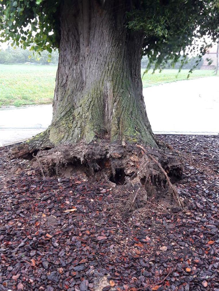 In de namiddag kwamen de wortels van de boom naar boven