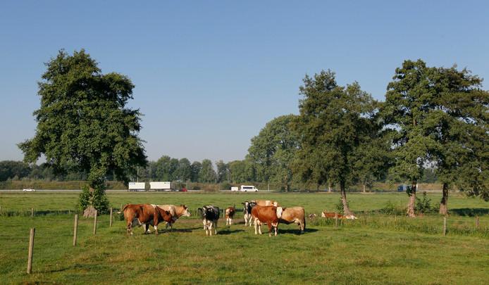 Koeien in een weiland aan de rand van het Drostendal. Op de achtergrond de A50, met aan de overkant Park Zuidbroek.