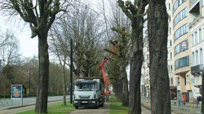 Bomen langs Frère-Orbanlaan voor het eerst in 15 jaar gesnoeid