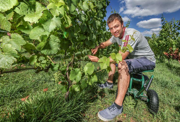 """Wijnboer Frederik Debruyne knipt het teveel aan druiven weg. """"Ik heb maar weinig schade door de hitte, er zijn collega's die zwaarder getroffen zijn."""""""
