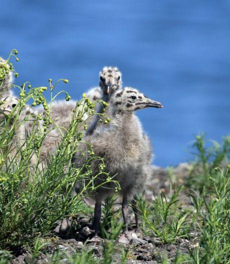 Meeuwen: het blijven fascinerende, intelligente vogels (maar let op je broodje kibbeling)