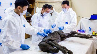 Wetenschappers proberen 40.000 jaar oud paard te klonen. Daarna willen ze mammoet weer tot leven wekken