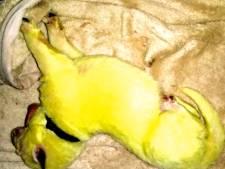 Pourquoi ce chiot est-il né jaune fluo?