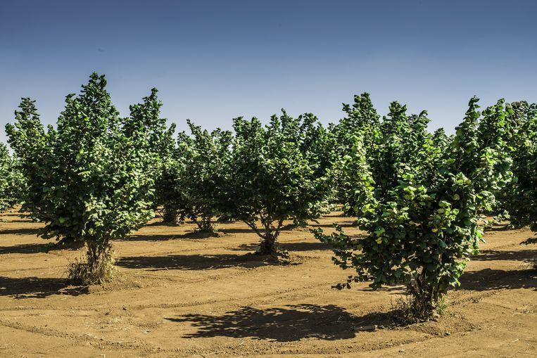 De Hazelaar doet het goed op grond die minder vruchtbaar is. Levert hazelnoten. Beeld Colourbox