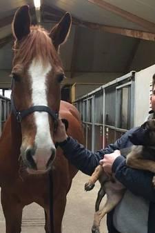 Politiepup Bumper went een dagje bij de paarden