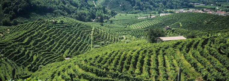 Prosecco wijngaard in de Valdobbiadene regio Beeld Nicola Zolin