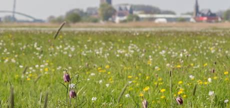 Zeldzame bloem in bloei bij Hasselt