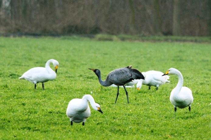 De kraanvogel in het weiland. Foto: Jan Slagers