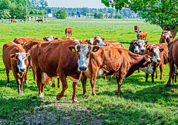 Een kudde blaarkoppen in een weiland in Bodegraven.