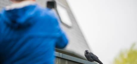 'Koning kauw' terroriseert Apeldoornse wijk