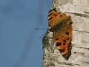 De zeldzame vlinder De Grote Vos zorgt er voor dat de bestrijding van de eikenprocessierups in Enschede niet overal kan plaatsvinden.