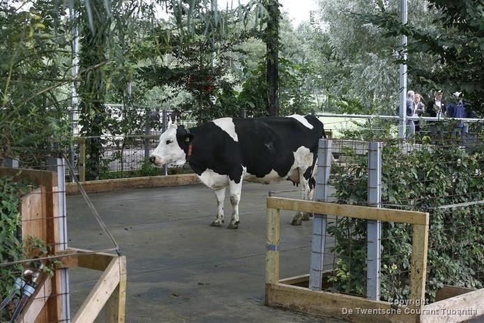 Eén van de koeien, die gebruikt maakt van de eerste koeientuin ter wereld.