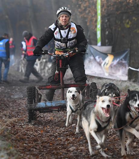 Wonderlijk gezicht: sleurende honden in bossen bij Landhorst