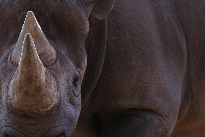 In Tanzania lopen nu twee zwarte neushoorns rond, die de sensoren in de hoorns dragen.