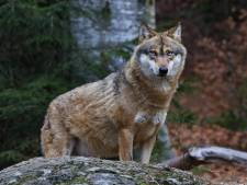 Frans-Italiaanse Strabrechtwolf zet provincie in hogere versnelling