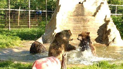 VIDEO. Beren spelen voor het eerst samen in De Zonnegloed