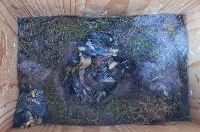 Boswachter Tim Hogenbosch vindt acht dode koolmezen in een nestkastje.