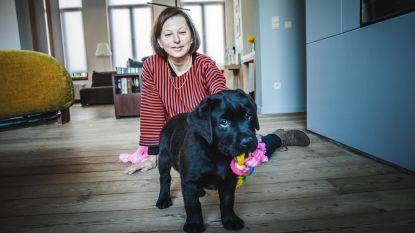 Eerste geleidehond beleeft zorgeloze puppytijd in Gent: nog pleeggezinnen gezocht