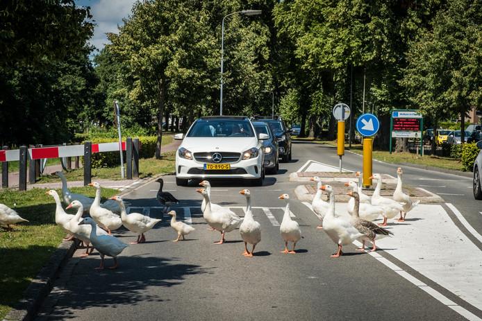 De ganzen zorgden afgelopen zomer nog met grote regelmaat voor overlast op de Zwolscheweg, die van en naar de binnenstad van Elburg leidt.