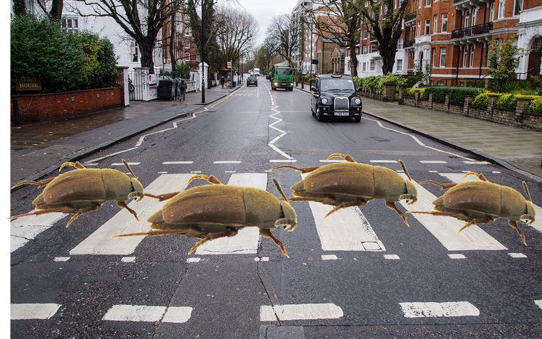 Uiteraard fotoshopten de ontdekkers de kevers ook nog even op de beroemde oversteekplaats bij Abbey Road. Beeld Taxon Expeditions