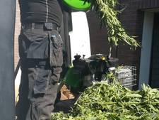 Grote wietplantage ontdekt in Zetten
