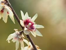 Dankzij deze struik ruikt je tuin deze winter heerlijk zoet en kruidig