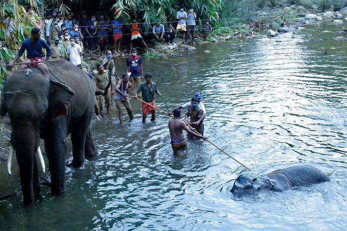 Dorpelingen in India helpen parkwachters in de rivier Velliya bij de berging van de olifant voor wie het eten van een met vuurwerk gevulde ananas fataal werd. Het voorval leidt sindsdien tot verhitte discussies in heel het land. Vandaag is de eerste arrestatie verricht.