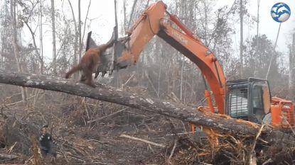 VIDEO: Orang-oetan gaat bulldozer te lijf die zijn natuurlijke habitat verwoest