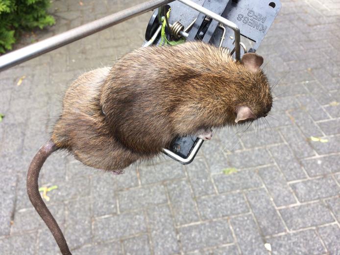 De negentiende rat die Agnes van de Valk afgelopen weekend in Boekel ving.