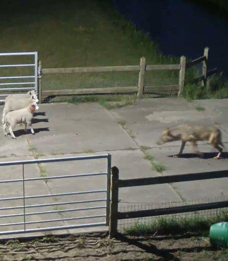 Camera legt wolvenaanval in Vlijmen vast: acht schapen gegrepen