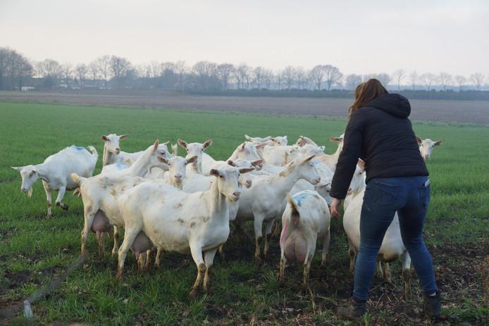De geiten worden in veiligheid gebracht.