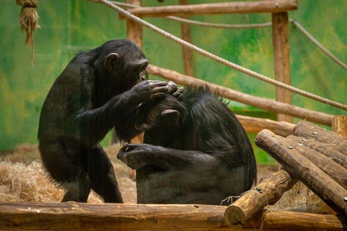 Mia en Marit, de nieuwe Zweedse chimpansees in de ZOO.