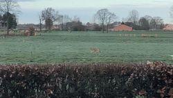 Mogelijk opnieuw wolf op doortocht in de Kempen: gesignaleerd in Rijkevorsel, Sint-Lenaarts, Mol en Herentals
