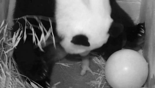 De geboorte van de pandawelp in de zoo van Washington, afgelopen vrijdag.