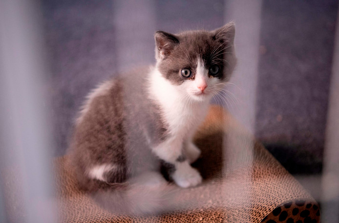 Le premier chat cloné en Chine