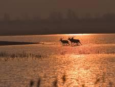 Zwemmende herten in Veluwemeer gek? 'Ze ruiken dat daar voedsel is'