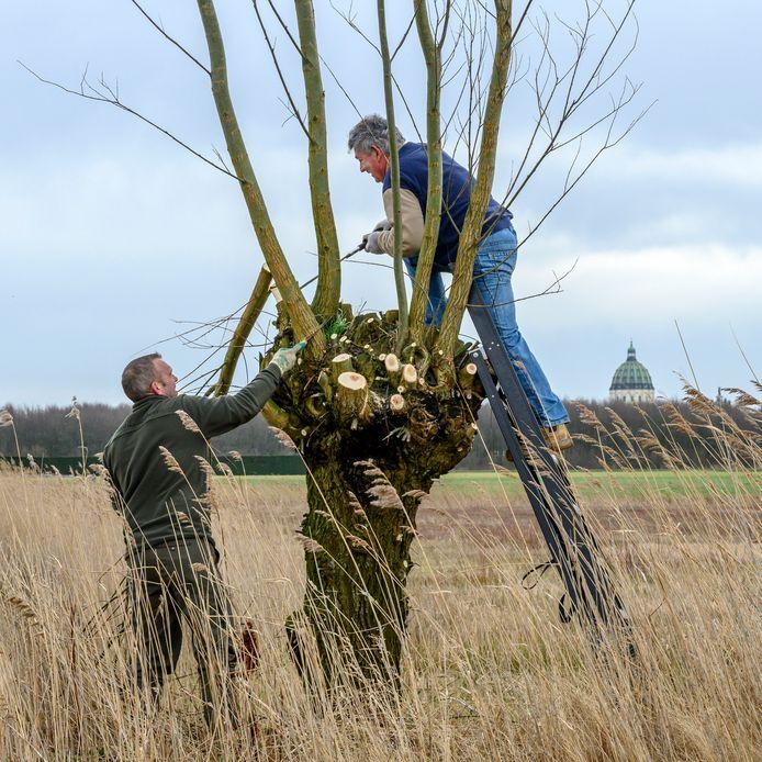 Vrijwilligers van Stichting De langeberg zijn de wilgen aan het knotten.