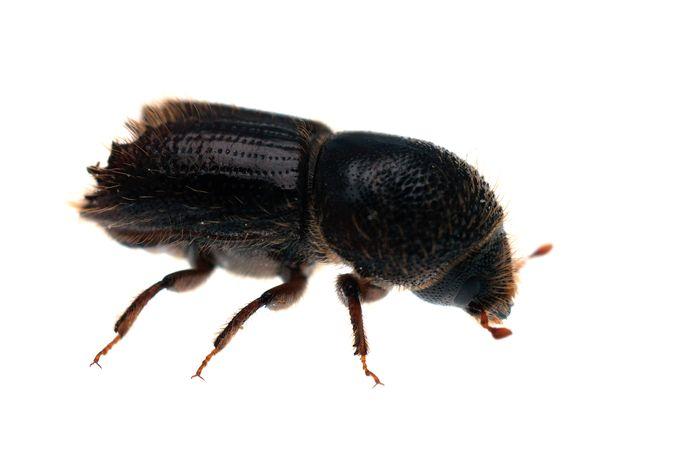De bron van alle kwaad: een inheemse kever van zo'n 5 millimeter lang, waarvan de larven zich een weg vreten door de fijnsparren.