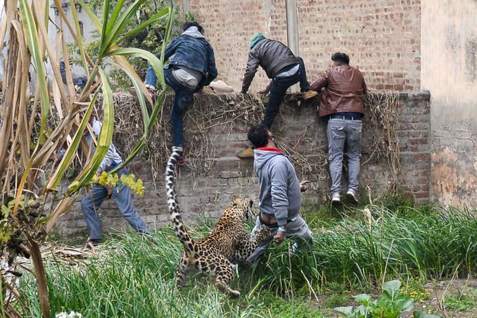 De luipaard grijpt een man terwijl dorpsgenoten in allerijl over een muur klimmen om aan de klauwen en tanden van het beest te ontsnappen.