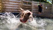 Ook honden hebben soms nood aan een frisse duik