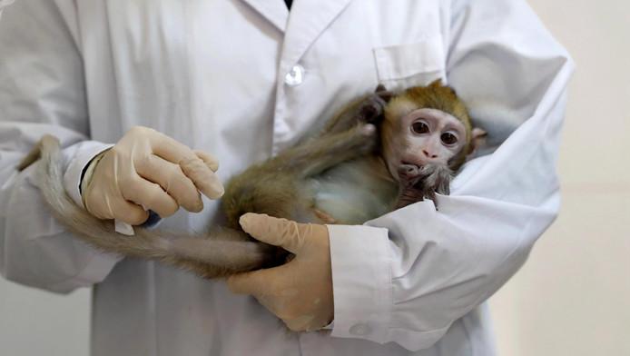 """L'Institut de neuroscience de l'Académie des sciences de Shanghai (est) a indiqué avoir modifié les gènes d'un macaque afin qu'il développe des troubles du rythme circadien, c'est-à-dire de son """"horloge biologique""""."""