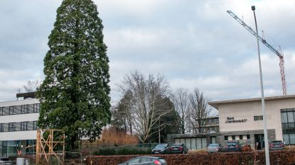 Monumentale mammoetboom aan nieuw woon-zorgcentrum wordt gekapt